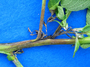 Late Blight Symptoms on Potato Stem