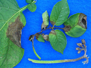 Late Blight Symptoms on Potato Plants
